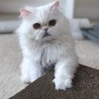 Meow-meow-mia